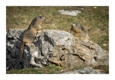 Marmottes