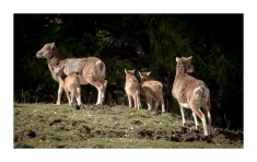 Mouflons (agnelles et agneaux de l'année)