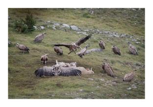 Curée de vautours fauves