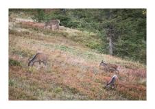 Le rendez-vous que j'espérais : il est 18h, un groupe de biches sort de la forêt et vient se nourrir à 100 m de mon affût (Focale : 200mm (crop), ISO : 500, Pose 1/200s, Ouverture : f/4)