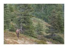 Et voilà le mâle dominant, un peu à l'écart, qui surveille sa harde sans relâche, prêt à chasser tous les concurrents (Focale : 200mm (crop), ISO : 500, Pose 1/200s, Ouverture : f/4)