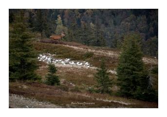 Un beau huit cors apparaît enfin après 3 heures d'attente. Ce sera la seule et unique photo valable de la saison (Focale : 200mm (crop), ISO : 500, Pose : 1/250s, Ouverture : f/4)